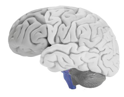 brain-stem