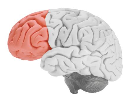 frontal-lobe