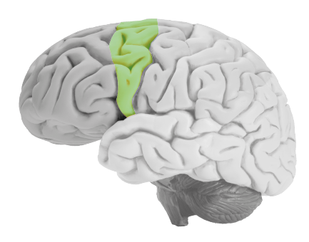 motor-cortex