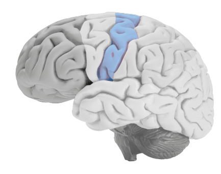 somatosensory-cortex